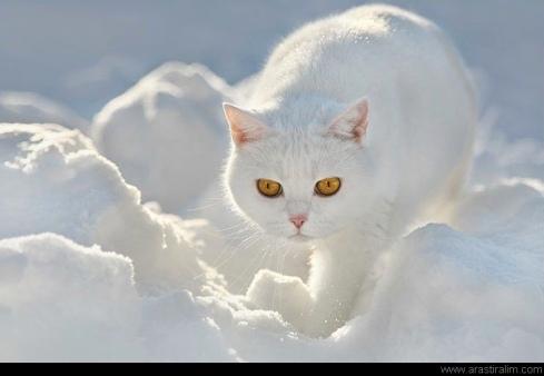 Karla Karışık Kedi