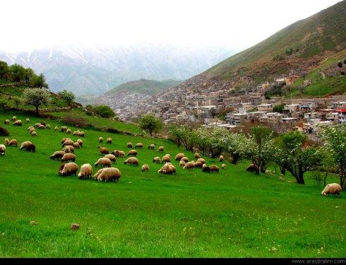 Köyün Koyunları