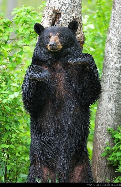 Close Up Bear Standing