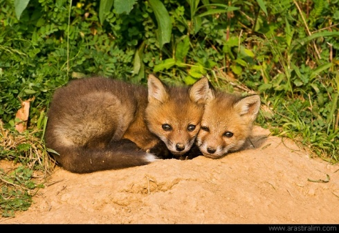 Snuggling Fox Kits