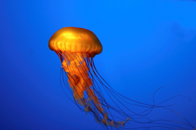 Jellyfish band  Wikipedia