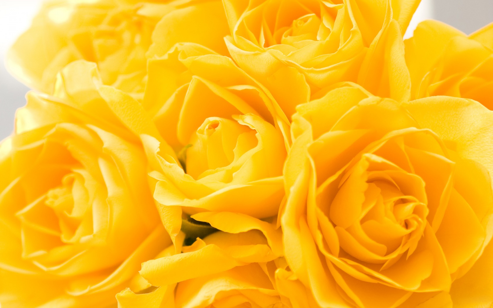 Hd wallpaper yellow rose - Flowers Yellow Roses Desktop Wallpaper Gardening Flower